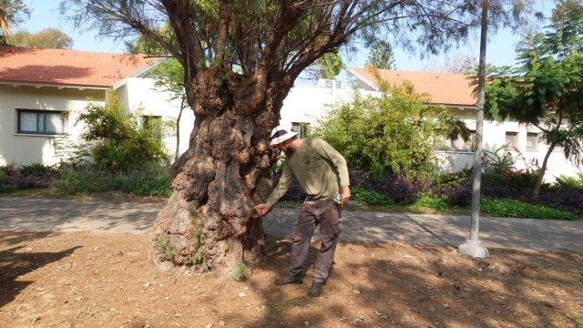 אחד מתוך עצי האשל ששרדו מתוך המאות שנשתלו ברחבי הקיבוץ