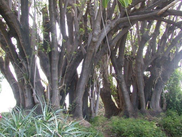 איזו עיר הדואגת לעצים שלה