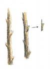 חיתוך והוצאת העין המיועדת להרכבה