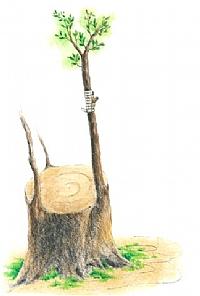 ענף החליפין לאחר ההרכבה, העין קשורה ומהודקת