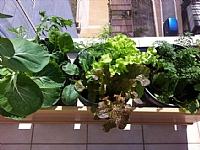 אדנית ירקות