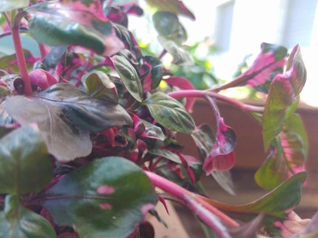 ביצן אוסטרלי - עלווה מגוונת מייצרת צבעוניות בגינה