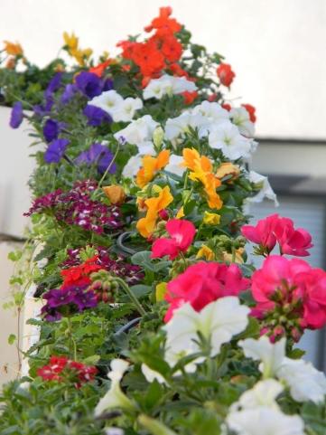 פריחה ארוכת טווח - שילוב פרחי עונה (פטוניה ואמנון ותמר) ורב שנתיים פורחים (ורבנה וגרניום)