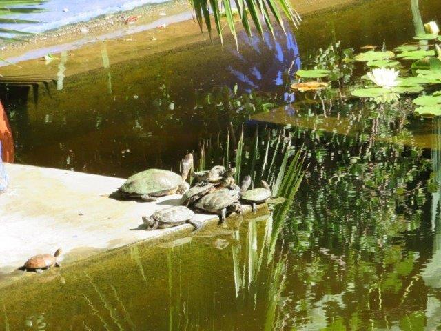 בבריכות המים גדלים מלבד צמחי מים, גם דגים וצבי מים.