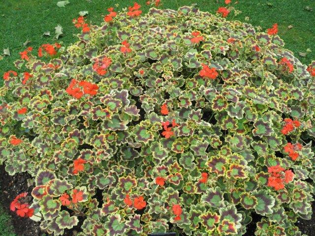 פלרגון מיסיס פולוק (Pelargonium Mrs. Pollock)
