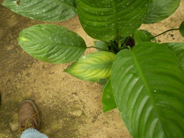תקריב העלים בעת מחסור הזנה