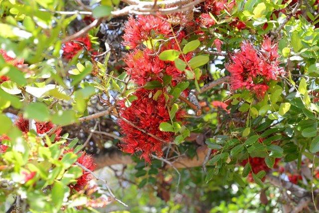 שוטיה קצרת -כותרת בפריחה