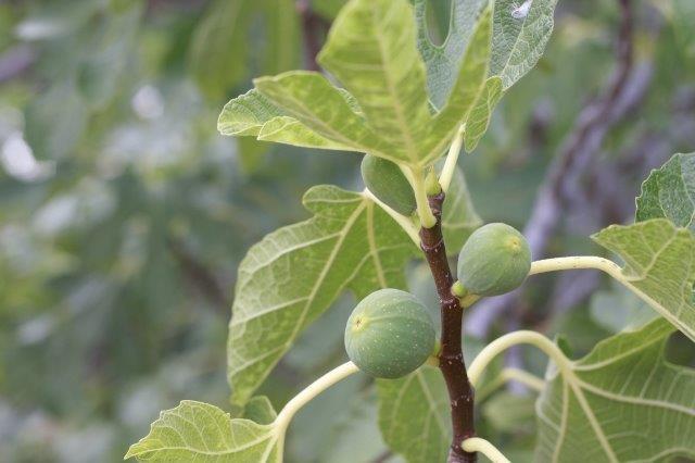עלים גדולים לצד פרי בוסר ירוק