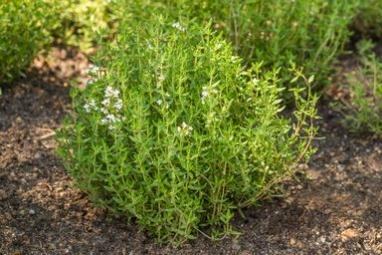 גינת צמחי תבלין